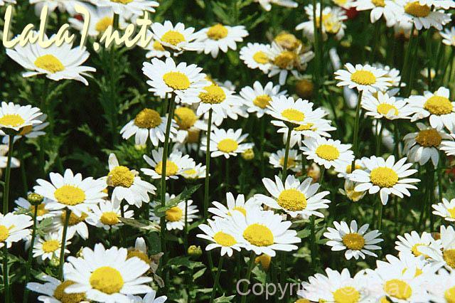 白いマーガレットの花 たくさん
