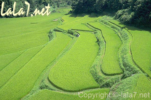 日本の田園風景、棚田に青い稲