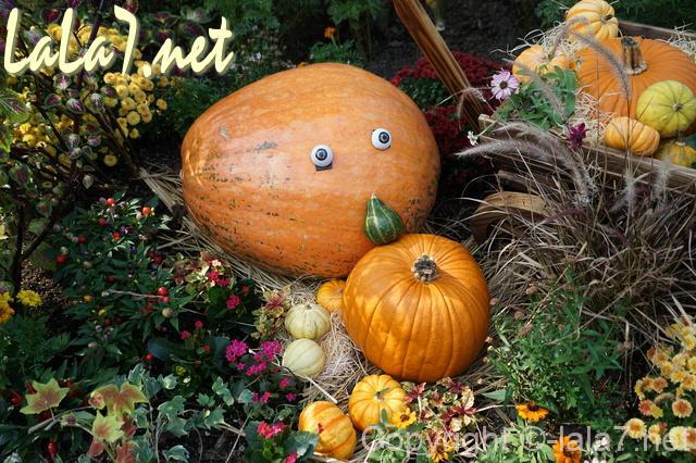 大きなカボチャ かぼちゃ 収穫祭